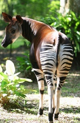 Now, whenever you see an okapi, you will immediately think 'Puritanism'.