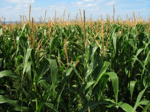The valleys standing thick with corn.