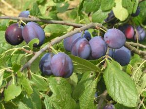 Plums, glorious plums!