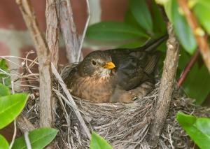 turdus_merula_nesting