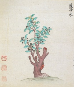 Painting of a Logwood/Sappan tree. Credit: Ming herbal (painting): Sappan tree, Wellcome Collection. Attribution 4.0 International (CC BY 4.0).